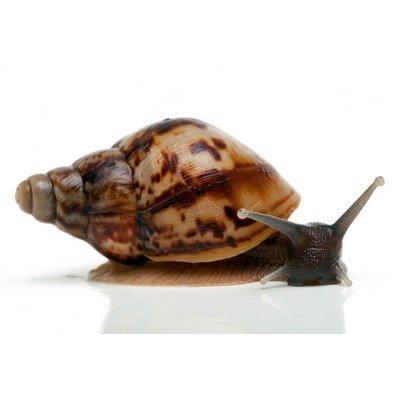 Ахатина ретикулята черноголовая (6 мес., панцирь 8 см)